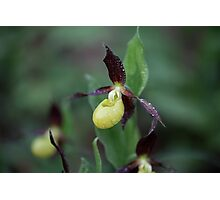 Ladys slipper Orchid Photographic Print