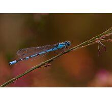 Common Blue Damselfly Photographic Print