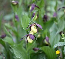 Ladys slipper Orchid by Zosimus