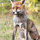 Sitting Fox by Peter Denness