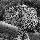 Jaguar Black & White by Sandy Keeton