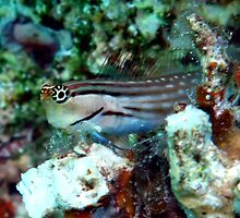 Blenny by cooperscuba