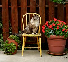 CAT ON A HOT WOODEN CHAIR by Diane Peresie