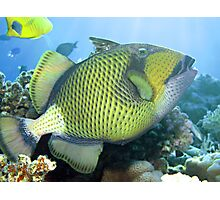 Titan triggerfish Photographic Print