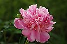 Pretty in Pink by Sandy Keeton
