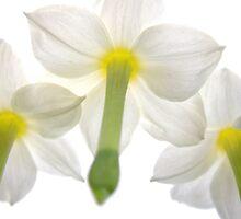 'Spring Ballet Series - Jonquil Encore' by Madonna McKenna