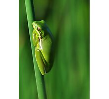 American Green Tree Frog #10 (Calendar) Photographic Print
