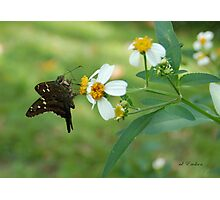 Long Tailed Skipper on Spanish Needle Photographic Print