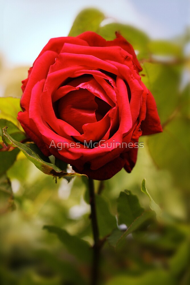 Morning rose by Agnes McGuinness