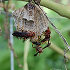 Red Wasp and nest by rd Erickson