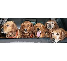 ...golden retrievers.. Photographic Print