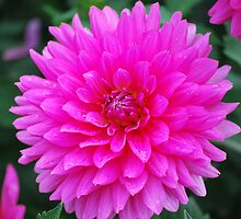 Bright Pink Dahlia by Karen Ashenberner