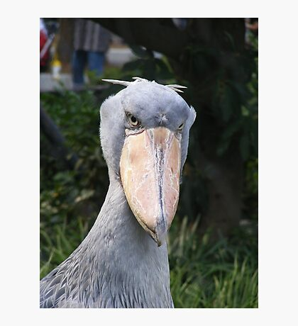 Shoebill Photographic Print