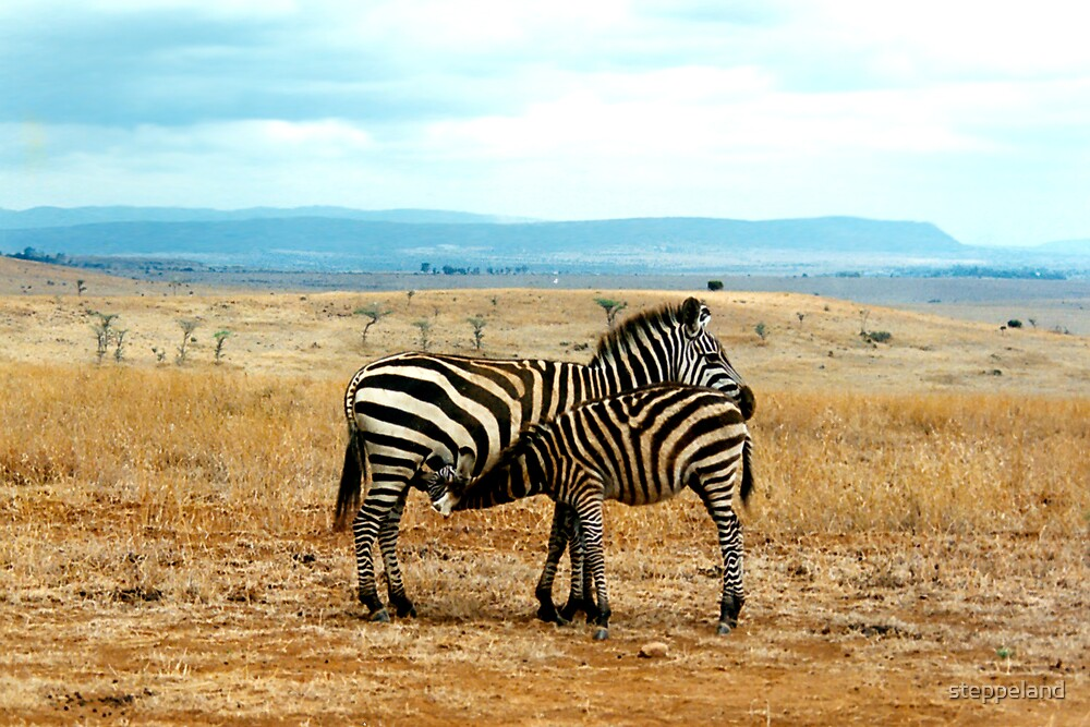 Zebra mare and foal by steppeland