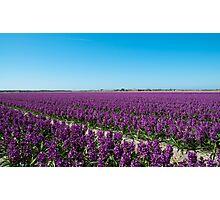 Hyacinth Field near Julianadorp, Netherlands Photographic Print