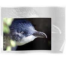 Australian Birdlife - Little Penguin Poster