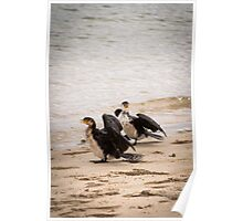 Two Little Pied Cormorants Poster