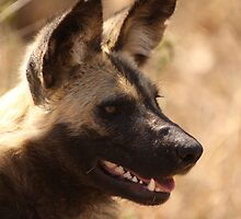 Wild Dog - South Africa by Steve Bullock
