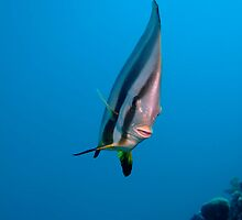 Spadefish by cooperscuba