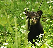 black bear cub hiding by dc witmer