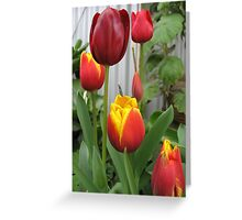 Tulips in my garden Greeting Card