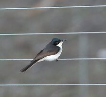 Friendly Little Willie Wagtail by imaginethis