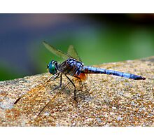 *BLUE DRAGONFLY*  Photographic Print