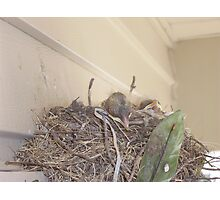 Baby Birds Photographic Print