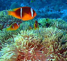 Anemone fish by lilithlita