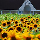 Sunflowers at Pindar Winery by John Schneider