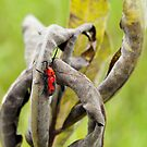 Red Milkweed Beetle by MikeJagendorf