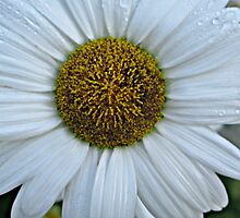 White Daisy by Dan Perez