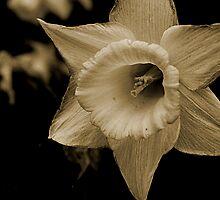sepia daffodil by Dan Perez