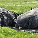 White Rhinoceros by MikeJagendorf
