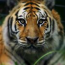 Siberian Tiger by RockyWalley