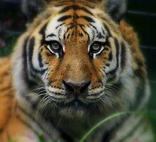 Siberian Tiger by RockyWalley