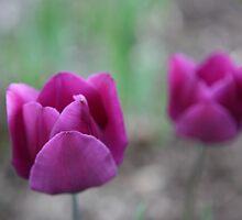An Echo of Purple Tulips by ElyseFradkin