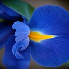 My first iris by Kathy Silcock