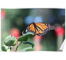 Monarch on a Mallow Stem Poster