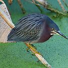 Green Heron by TRussotto