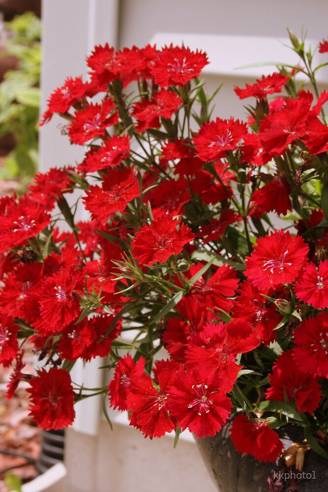 Red Dianthus by kkphoto1