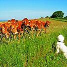 Curious cows by Trine