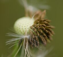 dandelion seeds by Nicole W.