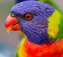 Closeup of Rainbow Lorikeet by Teale Britstra