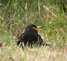 Sun bathing Blackbird by Jon Lees