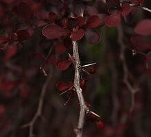 Beautiful Deep Blood Red thorn bush by GarStopmotion