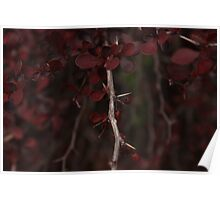 Beautiful Deep Blood Red thorn bush Poster