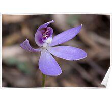 Blue Caladenia - Cyanicula caerulea  Poster
