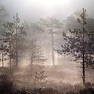 22.5.2015: Pine Trees, Spring Morning by Petri Volanen