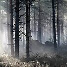 22.5.2015: Spring Morning in Pine Tree Forest by Petri Volanen